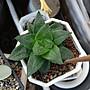 多肉植物  彩虹玉露(凡購買即可獲贈以下植物枝條任選一種,送完為止……姬秋麗,重扇,銀之太鼓等)