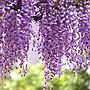 日本紫藤/6吋/觀花植物/蔓性/藤本/爬藤植物