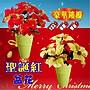 聖誕紅花盆 豪華金蔥  雙色大五朵 直徑22公...