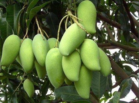 ╭ *田尾玫瑰園*╯水果苗(金煌芒果)-芒果之王-甜度高、無纖維