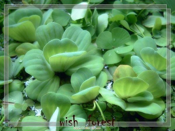 WISH FOREST【水生植物】水芙蓉/大萍/浮水性/點綴水盆的最佳植物/4朵20元