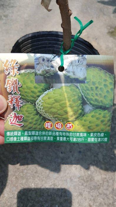 ╭*田尾玫瑰園*╯水果苗-(綠鑽釋迦)40cm400元
