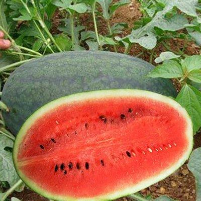 小果黑美人西瓜種子(種子每份5顆)C0016