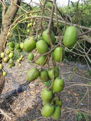 [嘉禾田農產果園] 新鮮生果橄欖(莎梨果Ambarella )  橄欖粉橄欖蜜餞橄欖蜜汁