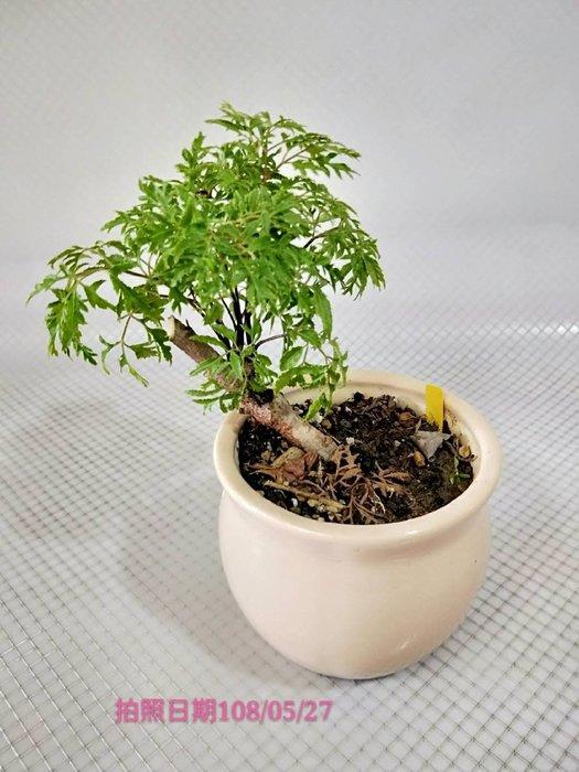 易園園藝- 羽葉福祿桐樹F29(福貴樹/風水樹)室內盆栽小品/盆景高約20公分