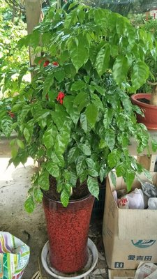元茂園藝新貨上架 旺旺樹 進財樹 室內外兩用盆栽 每單位一盆