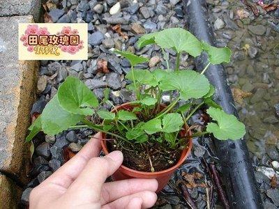 ╭*田尾玫瑰園*╯藥用植物--(雷公根)-是相當被重視的藥材