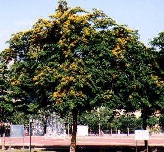╭*田尾玫瑰園*╯優良樹種-(印度紫檀)-世上最高貴的木材之一.俗稱紅木