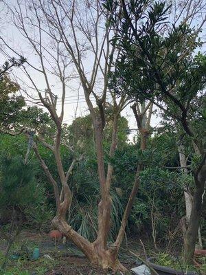 (七里園)景觀盆栽 九芎樹 頭部60公分 高約6~7米  尚有 羅漢松 黑松 真柏 紅彩木
