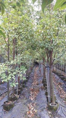 台灣牛樟樹.牛樟苗
