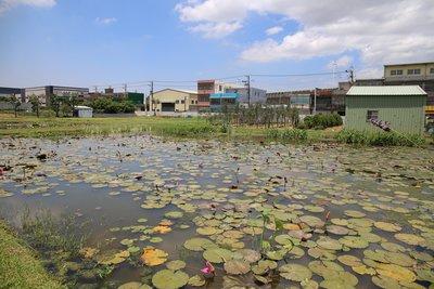 【濕地先生】生態池 人工濕地水生植物 購買 買賣