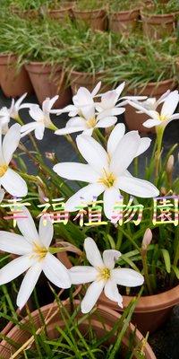 [幸福植物園]風雨蘭 曲奇月亮(Zephyranthes Cookie Cutter Moon)