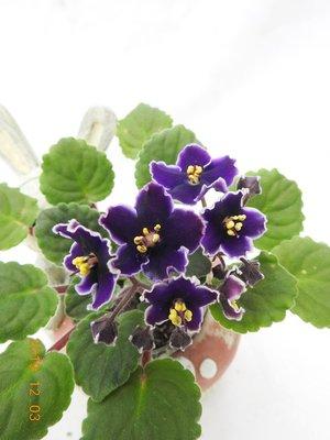 堤緣花語陶-淨化室內空氣植物-非洲紫羅蘭 Victorian Parasol sport
