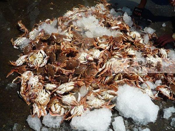 【大昇水產】*秋蟹來了*正港鮮貨產地直送不經任何加工處理_蟹黃飽滿新鮮熟凍母沙蟹