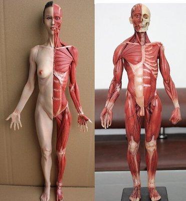 【優上精品】人體肌肉解剖模型 藝用美術 醫用結構人體肌肉骨骼仿真模型壹對(Z-P3247)