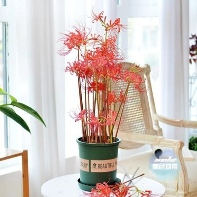 【限時8.8折】 花卉種子 曼珠沙華彼岸花種子盆栽花石蒜科種球四季室內花卉曼陀羅觀花植物 20色