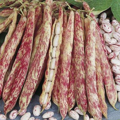 【阿金的便秘花園】波羅特菜豆Dwarf Italian Borlotto Bean (種子每份15顆100 元)D026