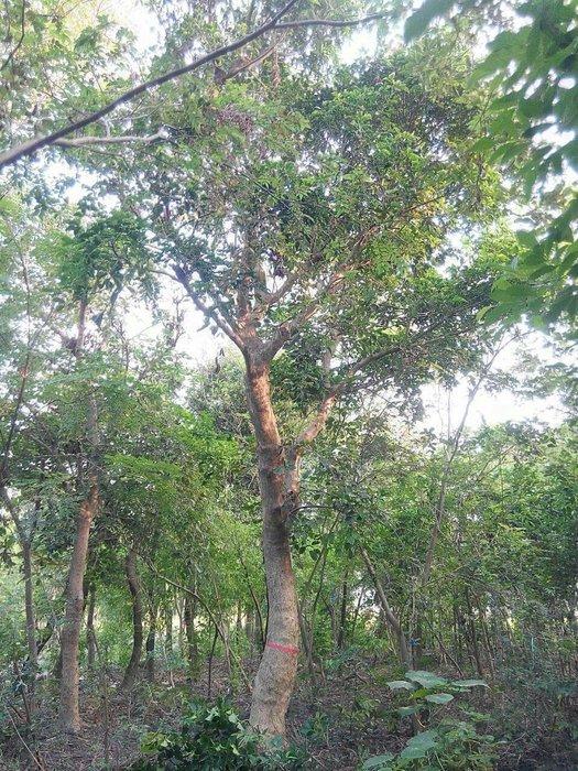 ╭*田尾玫瑰園*╯庭園用樹(茄苳.重陽木)米徑35cm5萬元