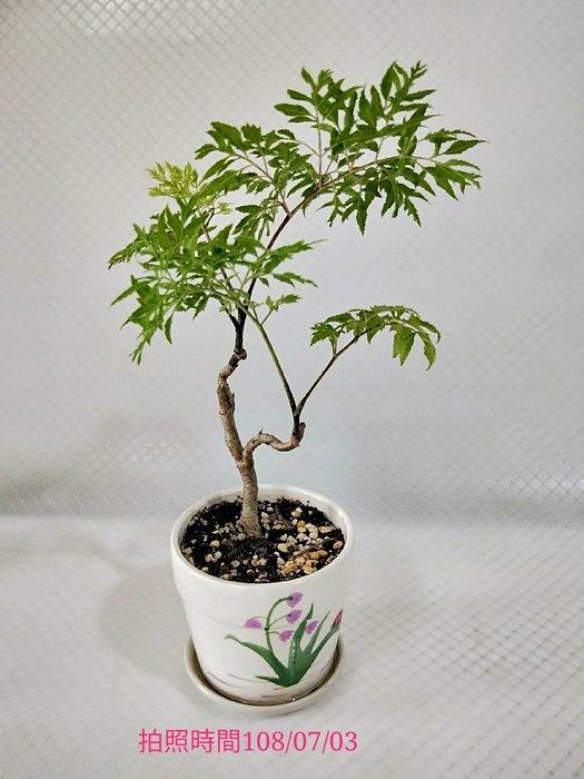 易園園藝- 羽葉福祿桐樹F52(福貴樹/風水樹)室內盆栽小品/盆景高約20公分