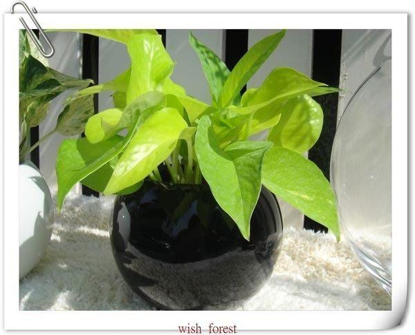 WISH FOREST【耐陰植物。陽光黃金葛】。萊姆黃金葛。金黃色。嫩綠淺黃~