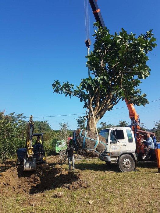 穗花棋盤腳(稀有樹種)  高度約3~6米  樟樹茄苳肖楠羅漢松楓樹龍柏黑松七里香