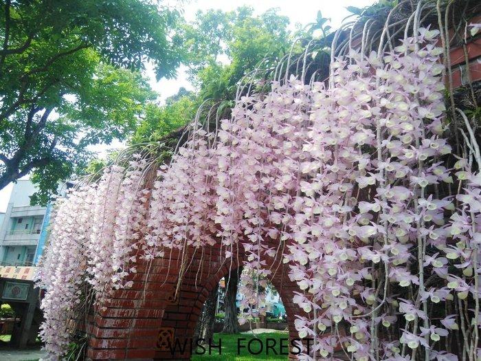 WISH FOREST【天宮石斛】1.5吋小苖~粉紅花瀑布~可自行移植到樹木或木板