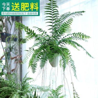 莉迪卡娜~長葉腎蕨波斯頓大型蕨類垂吊好養植物室內客廳盆栽陽臺花卉霸王蕨
