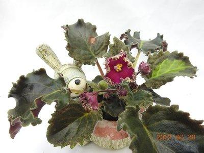堤緣花語陶-淨化室內空氣植物-非洲紫羅蘭 Lyon's Crown Jewel Sport