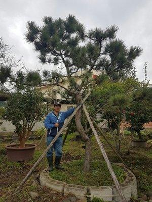 (青山園藝)  黑松  米俓 約20cm  高度約5米  珍貴樹種