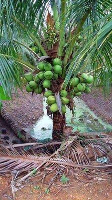 (特大苗)【綠殼矮種香椰】矮種椰子|盆栽苗木專賣|台灣平地可種植|皇家果樹園