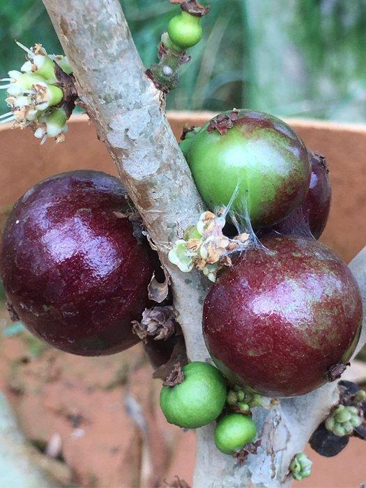 艾斯卡早生樹葡萄