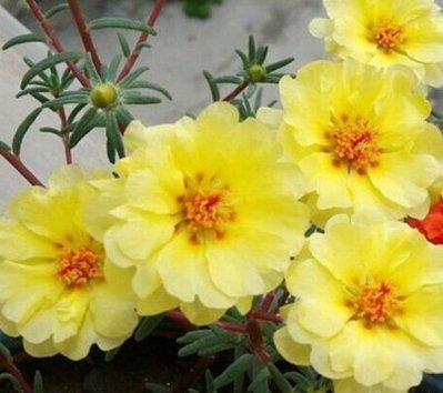 黃雀太陽花種子10入K515