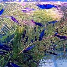 藍絲絨10隻150黃金米10隻50極火蝦100隻300