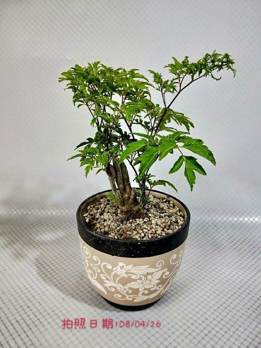 易園園藝- 羽葉福祿桐樹F38(福貴樹/風水樹)室內盆栽小品/盆景高約30公分