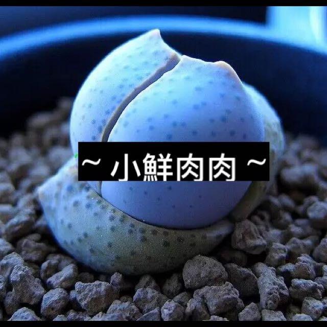 【小鮮肉肉】多肉植物種子MESA春桃玉屬-幻玉 種子(10粒装)