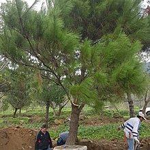 (青山園藝).赤松.二葉松.黑松.琉球松.非真柏龍柏桂花油杉