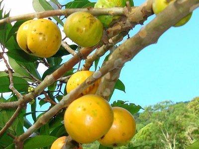 ╭*田尾玫瑰園*╯新品種水果苗--肯布卡(大果黃樹葡萄)1尺高1000元