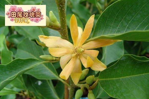 ╭*田尾玫瑰園*╯ 香花植物(金玉蘭)花期為4-10月間盛開.有濃烈的芳香