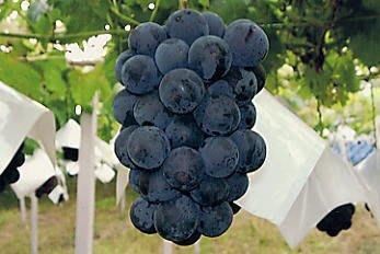 ╭*田尾玫瑰園*╯優良水果苗(巨峰葡萄)高70cm150元