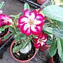 WISH FOREST【沙漠玫瑰。5吋盆】懶人植物~ ~ ...