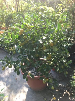 一尺盆金桔樹/風水植物/美觀好吃-千葉園藝有限公司