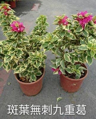 圍籬植物 ** 斑葉無刺九重葛 **  5吋盆/高15-30  / 無刺亮麗白綠相間【花花世界玫瑰園】R