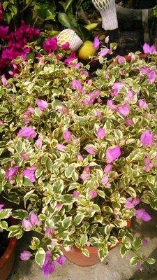 樹苗~水果苗~玫瑰苗~香草~圍籬樹苗 (( 斑葉九重葛  (淺紫)   )) 7吋盆- 花花世界玫瑰園