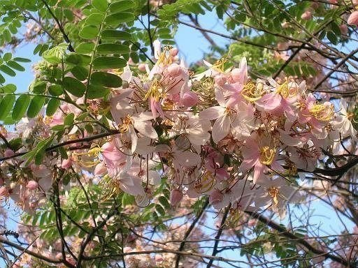 ╭*田尾玫瑰園*╯新品種庭園用樹- (花旗木)泰國櫻花.移植袋高4尺350元