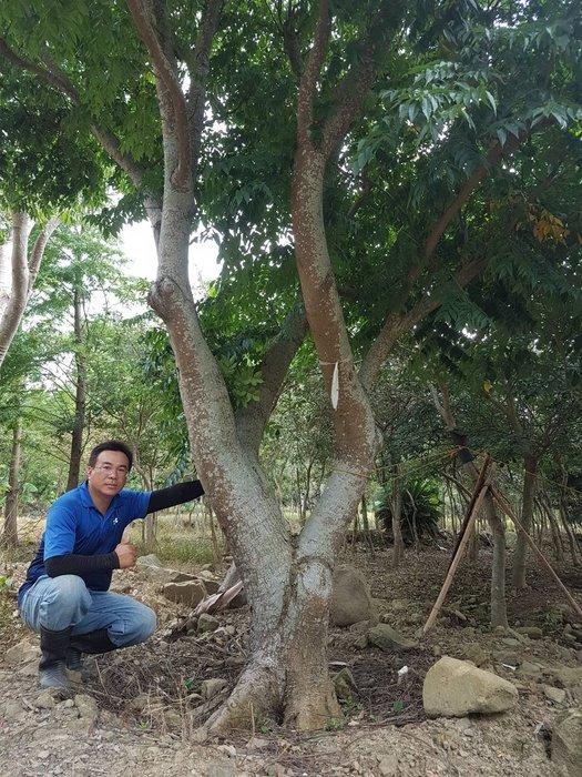 (青山園藝) 欒木 頭徑約50cm 高度約6米 真柏桂花黑松七里香紫檀油杉青楓象牙木真柏