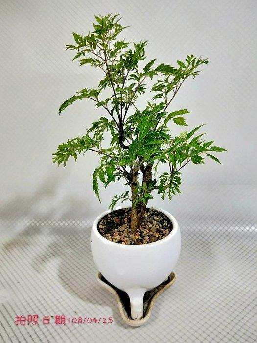 易園園藝- 羽葉福祿桐樹F36(福貴樹/風水樹)室內盆栽小品/盆景高約33公分
