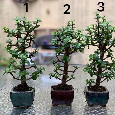 俗稱發財樹的銀杏木 小品盆栽 配瓷盆