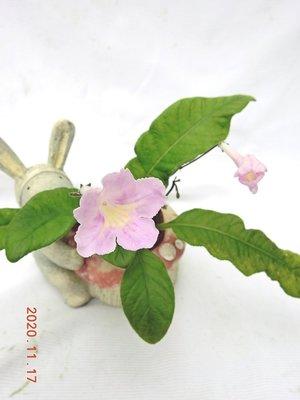 堤緣花語陶-淨化室內空氣植物 [Streptocarpus堇蘭]