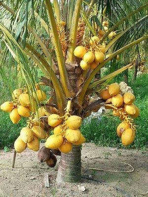 (大苗)海南【金殼矮種香椰】矮種椰子|盆栽苗木專賣|台灣平地可種植|皇家果樹園