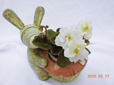 堤緣花語陶-淨化室內空氣植物-非洲紫羅蘭 Christening Gown [限量經典白花]
